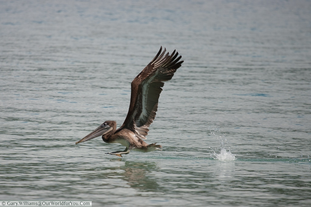 A Brown Pelican using the full power of his wings to get airborne.