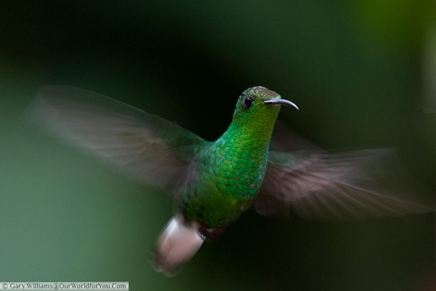 A Coppery Headed Emerald hummingbird in flight
