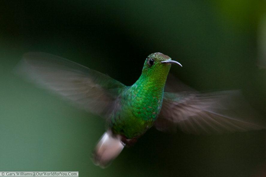 A Coppery Headed Emerald hummingbird in flight