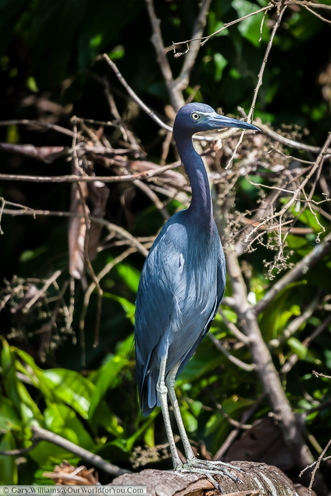 A Little Blue Heron standing proud on the water's edge in Tortuguero.