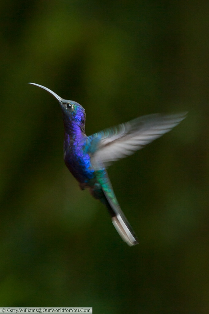 A Violet Sabrewing hummingbird, captured at a feeding station at the Cloud Forest Reserve, Monteverde.