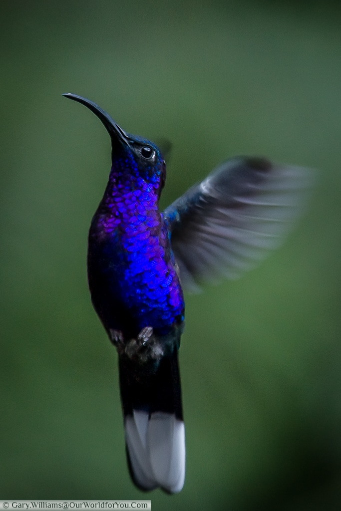 A Violet Sabrewing hummingbird hovering in a near vertical position.