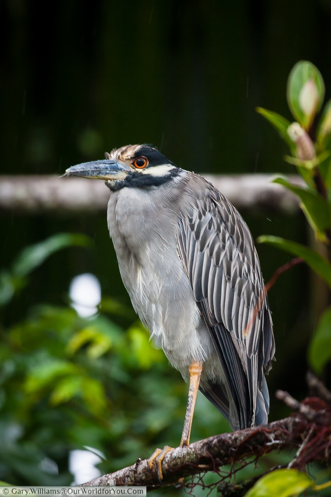 A Yellow-crowned night heron.