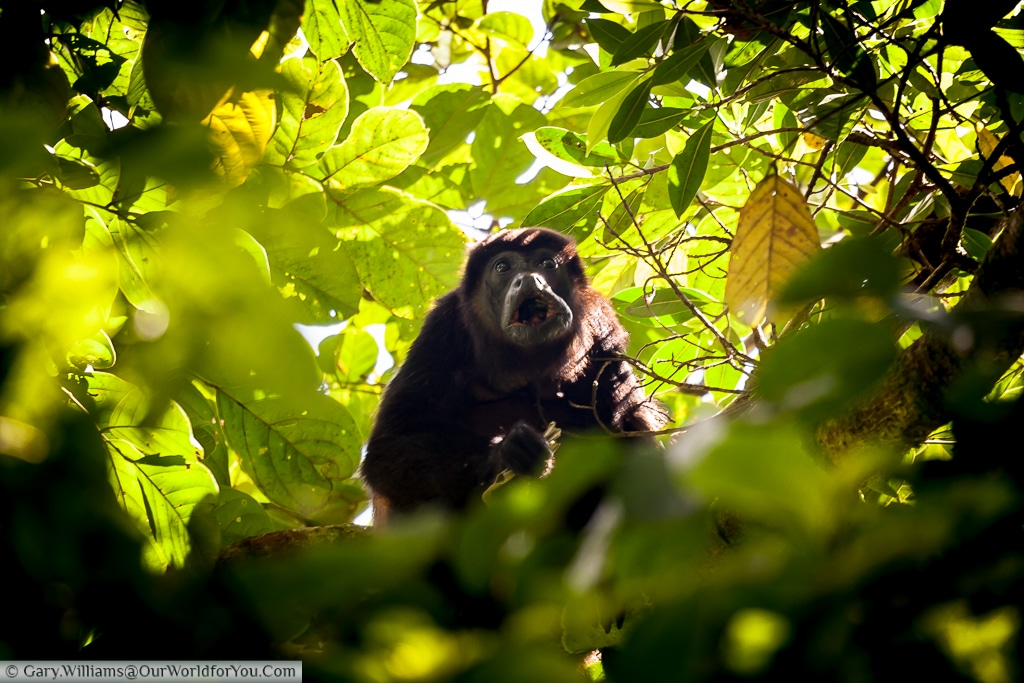 A startled Howler Monkey peering through the undergrowth.