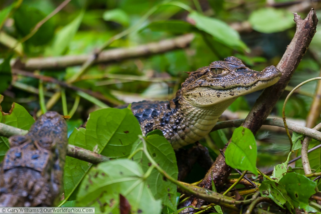 A juvenile Caiman, with a sibling, found in one of the tributaries to the Tortuguero lagoon.