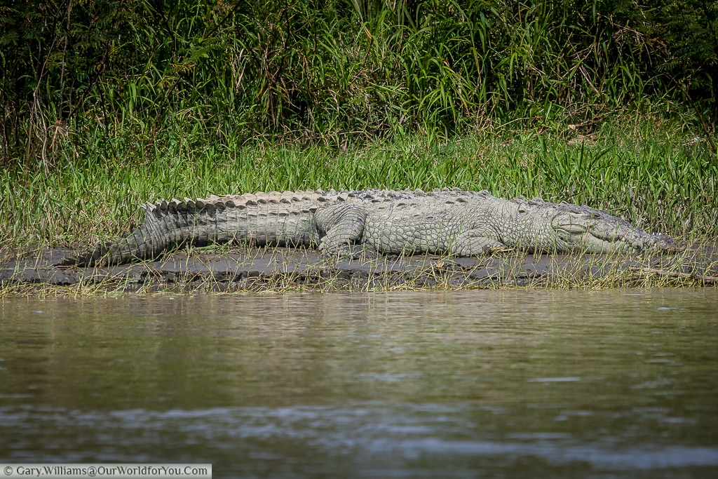 An American Crocodile basking, in full view on the boat trip to Tortuguero.