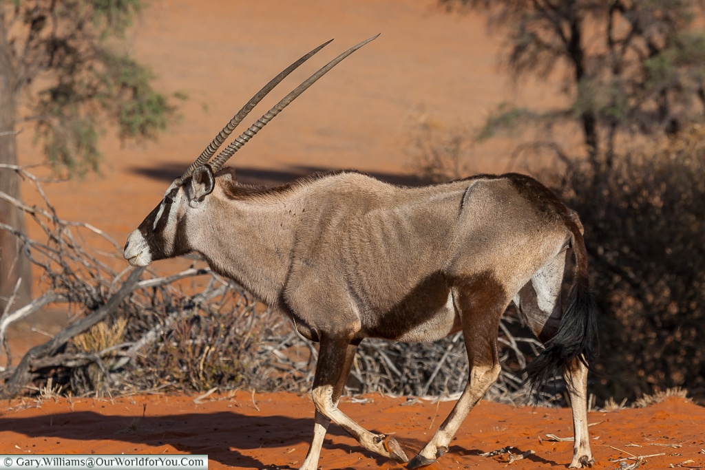 A gemsbok, Morning Game Drive, Bagatelle Kalahari Game Ranch, Namibia