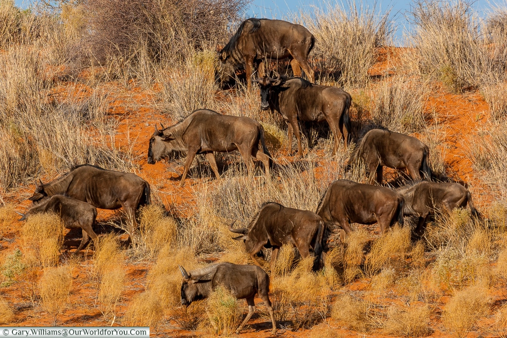 A herd of wildebeest on the Morning Game Drive, Bagatelle Kalahari Game Ranch, Namibia