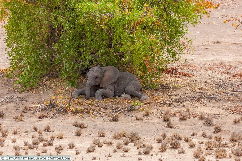 A lone young elephant, desert elephants, Kunene Region, Namibia