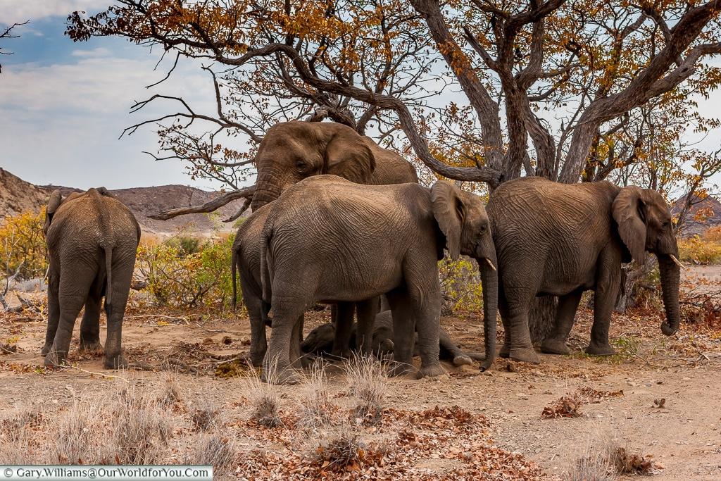 A peaceful herd, desert elephants, Kunene Region, Namibia