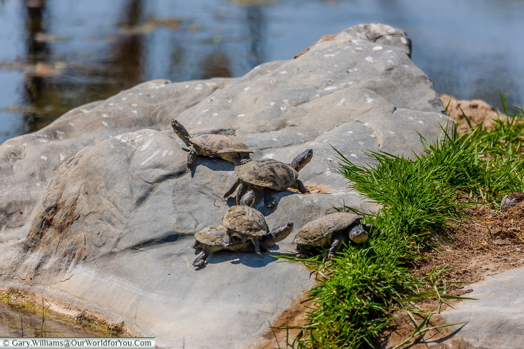 A small group of turtles existing in the stream that runs to the Himba village, Damaraland, Namibia