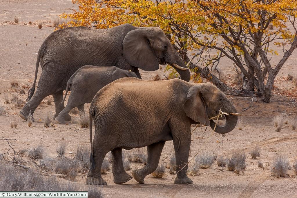 A small herd on the move, desert elephants, Kunene Region, Namib