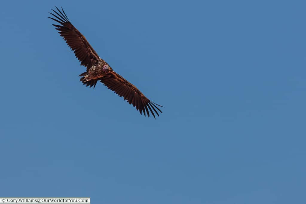 A vulture, Morning Game Drive, Bagatelle Kalahari Game Ranch, Namibia