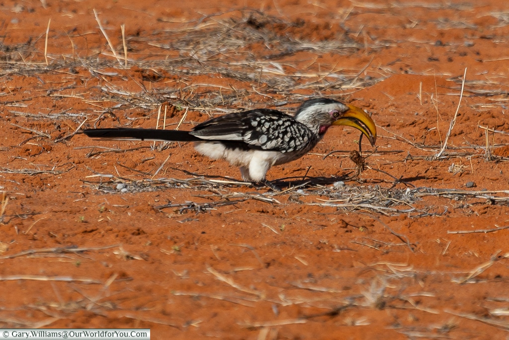 A yellow hornbill foraging, Morning Game Drive, Bagatelle Kalahari Game Ranch, Namibia