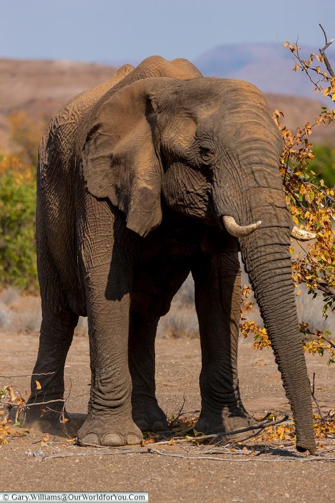 A young bull elephant, desert elephants, Kunene Region, Namibia