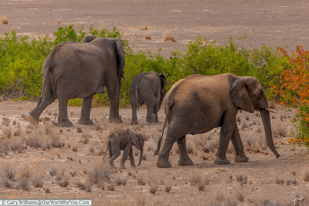 All ages, desert elephants, Kunene Region, Namibia