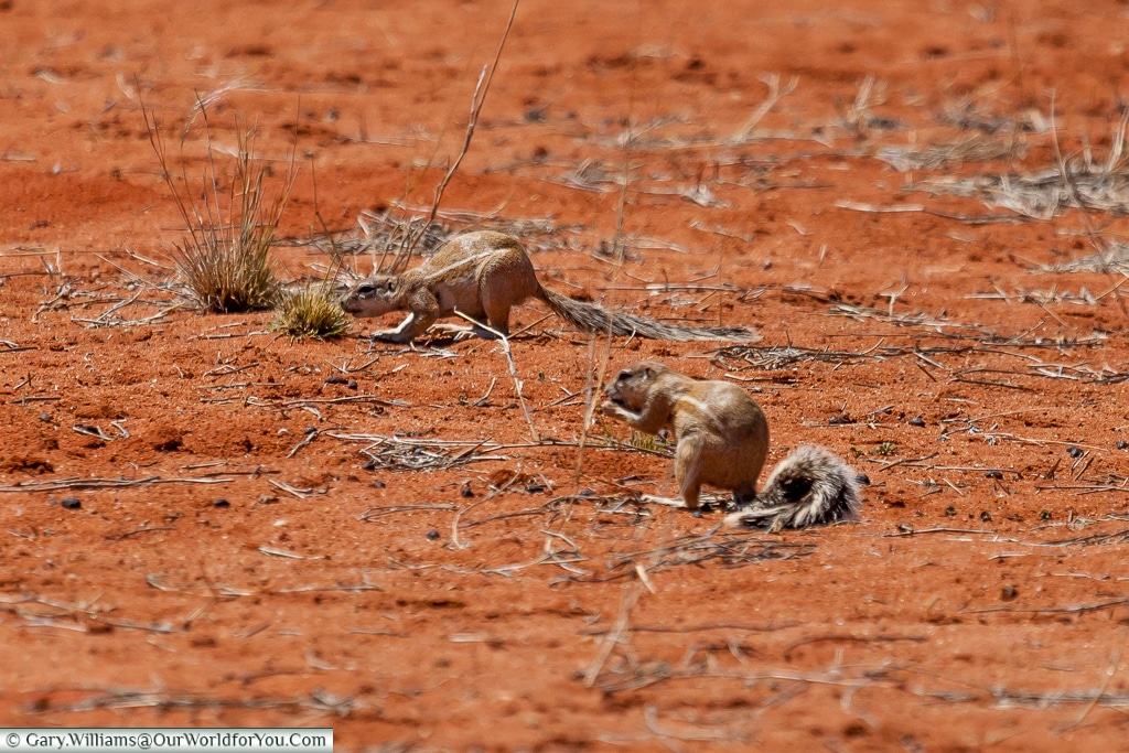 Cape Ground Squirrels, Morning Game Drive, Bagatelle Kalahari Game Ranch, Namibia