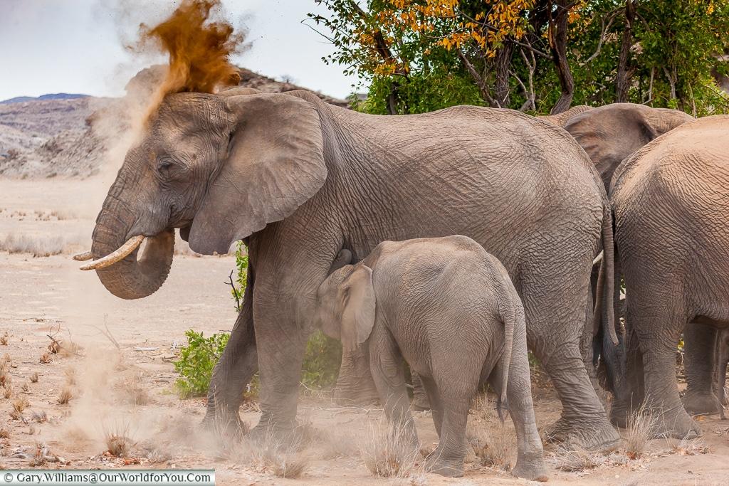 Dusting down, desert elephants, Kunene Region, Namibia