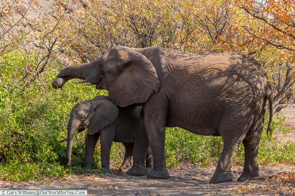 Mother and child, desert elephants, Kunene Region, Namibia