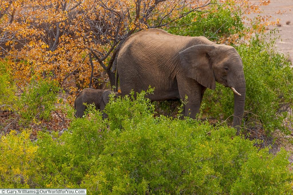 Staying close, desert elephants, Kunene Region, Namibia