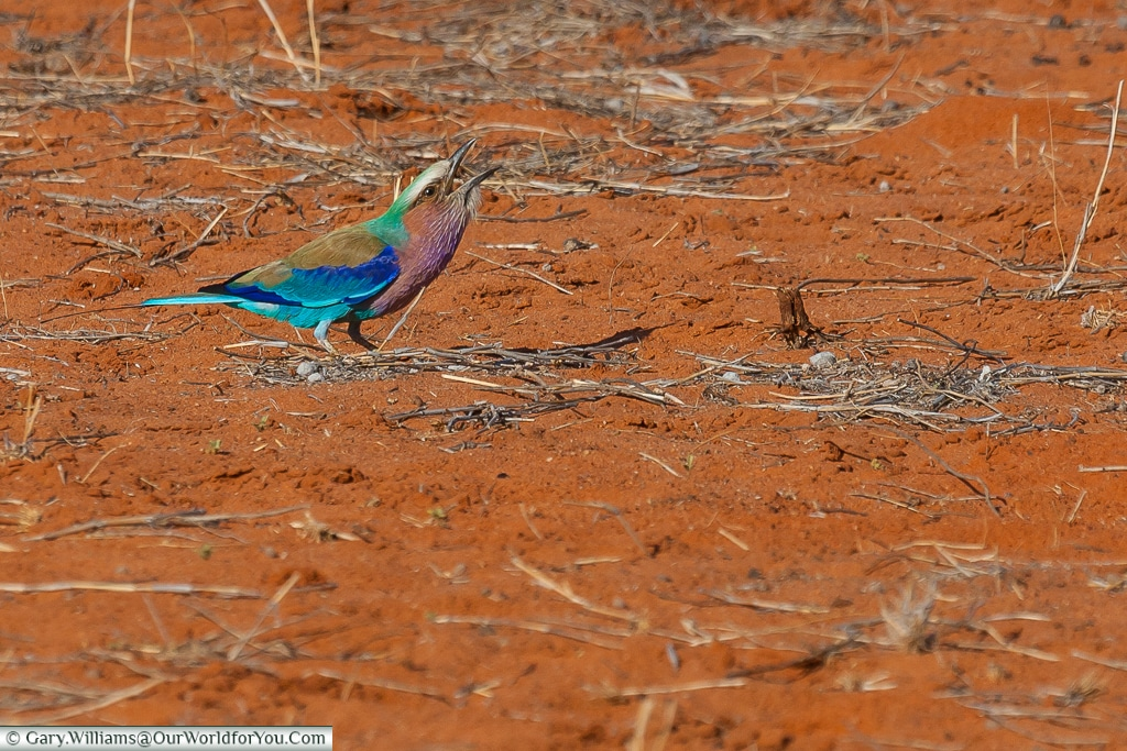 The Lilac roller, Morning Game Drive, Bagatelle Kalahari Game Ranch, Namibia