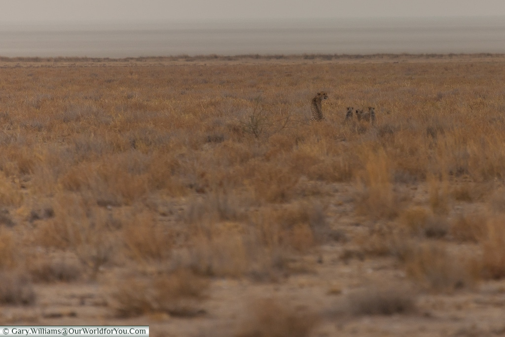 A family of cheetah hunting, Etosha, Namibia