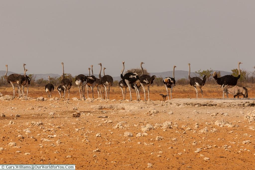 A flock of ostriches, Etosha, Namibia