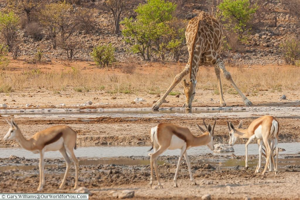 A giraffe at a watering hole, Etosha, Namibia