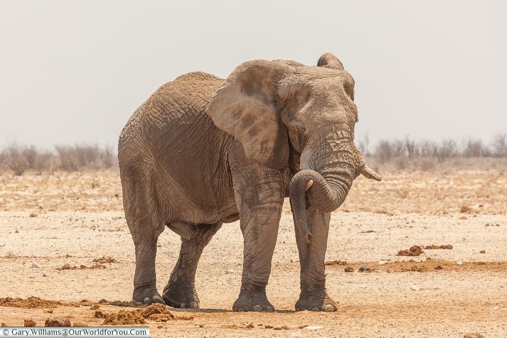 An elephant relaxing, Etosha, Namibia