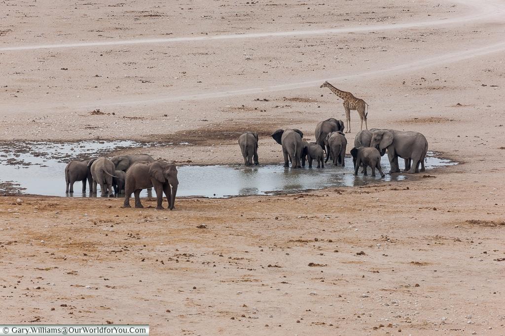 Final group at the hole, Etosha National Park, Namibia