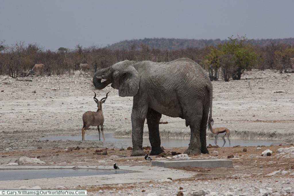 Lone elephant, Etosha National Park, Namibia
