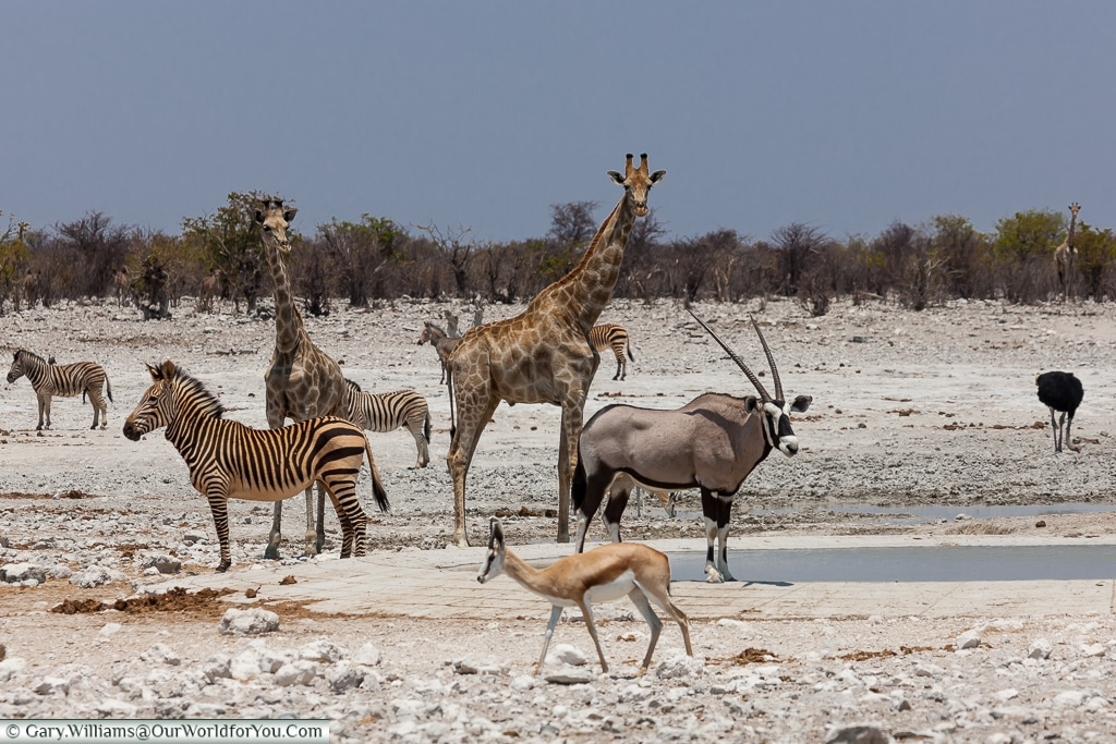 Spotted at the watering hole, Etosha National Park, Namibia
