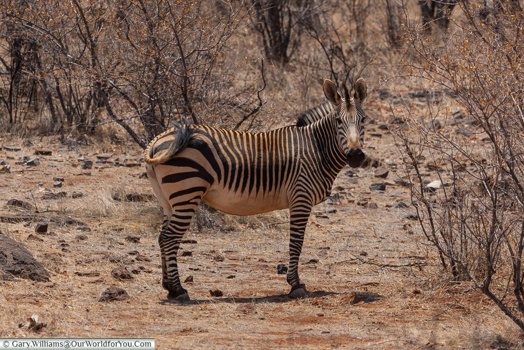 Spotted by a zebra, Etosha National Park, Namibia