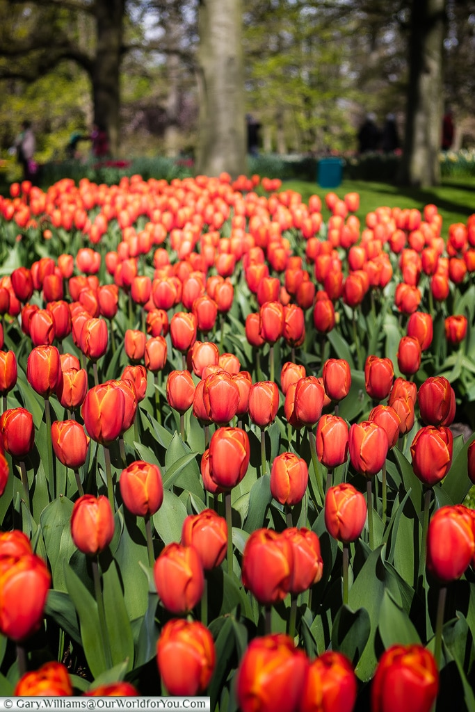 Dense red, Keukenhof, Holland, Netherlands