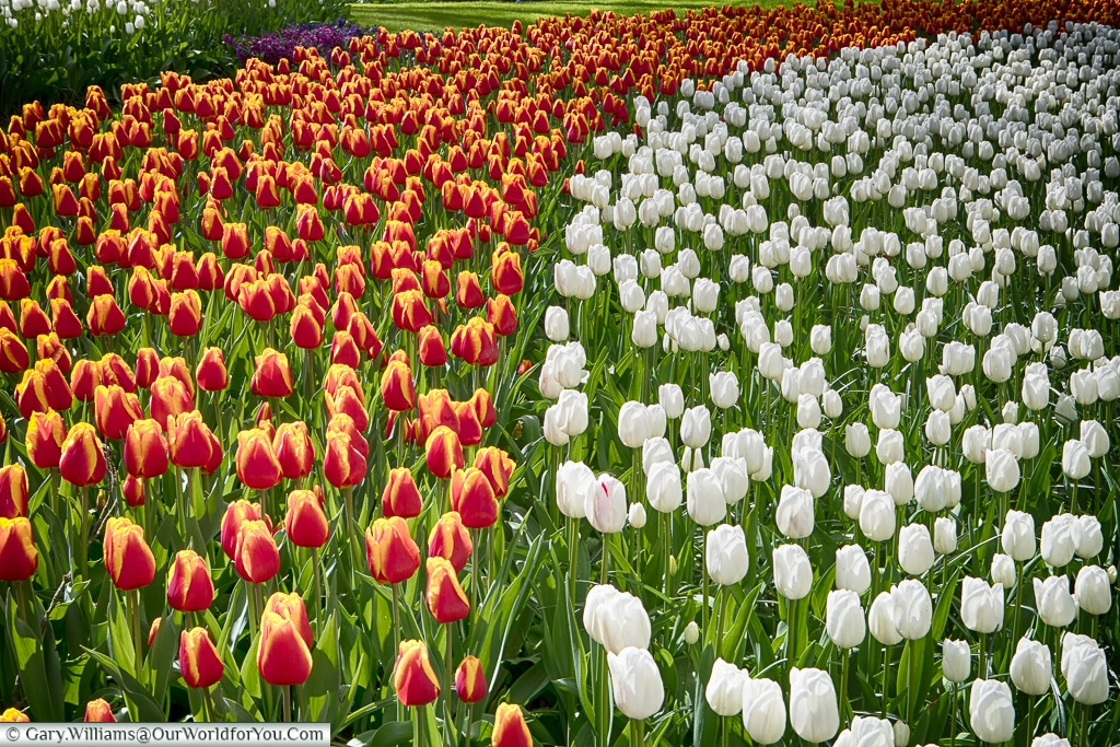Mixed bands of colour, Keukenhof, Holland, Netherlands