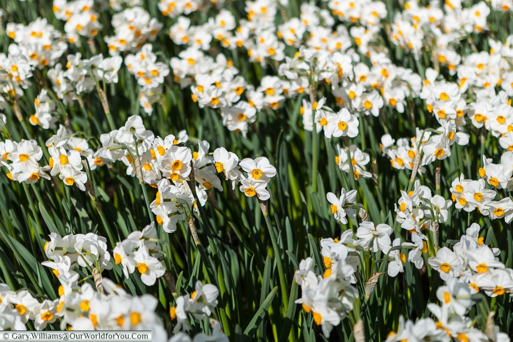 White Narcissus with yellow trumpets, Keukenhof, Holland, Nether
