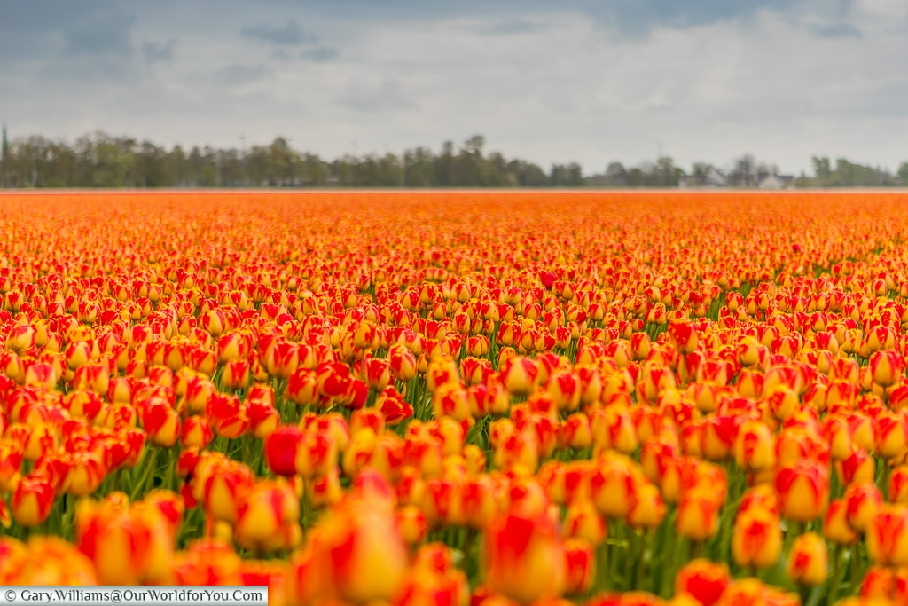 Fields in Bloom, Holland, Netherlands