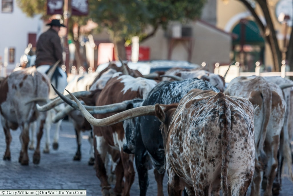 Rollin' on through, Stockyards. Fort Worth, Texas, USA