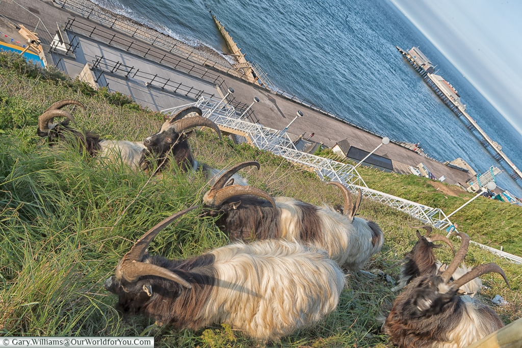 The goats at Cromer, Norfolk, England, Great Britain