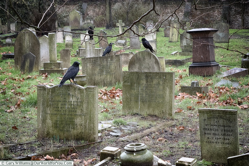 Ravens amongst the graves, Brompton Cemetery, London, England, UK