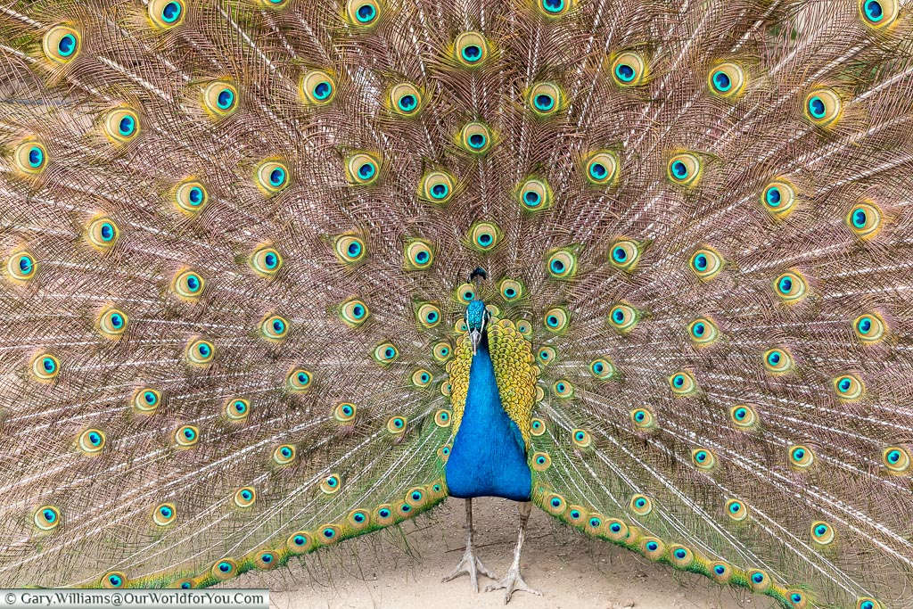 A peacock with a full display, Évora, Portugal