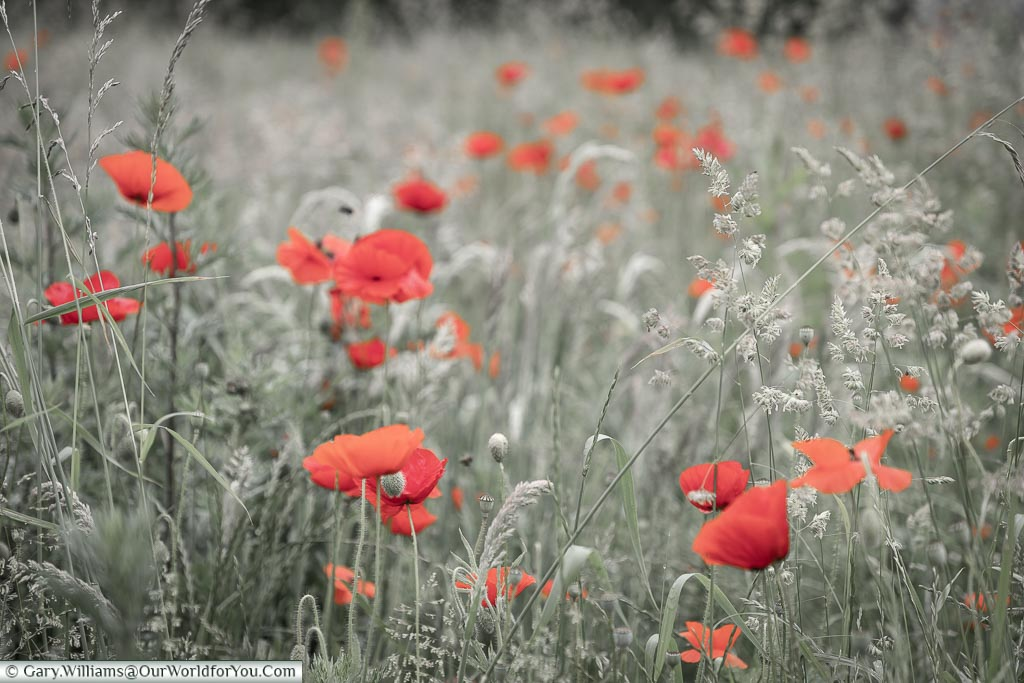 Poppies - the everlasting symbol of blood spilt on the field, Belgium