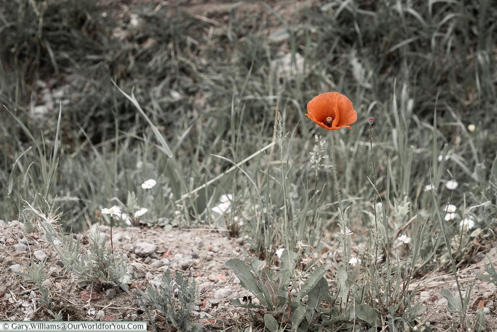 The lone poppy,Tyne Cot, Passchendaele, Belgium