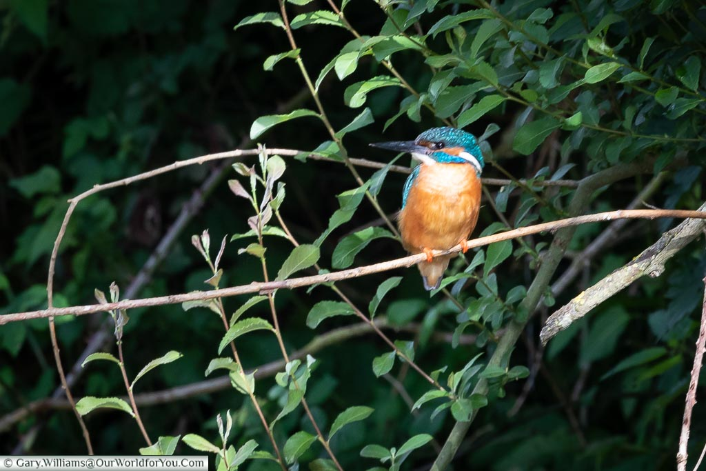 Kingfisher on the banks of the Kennet & Avon Canal, England, United Kingdom