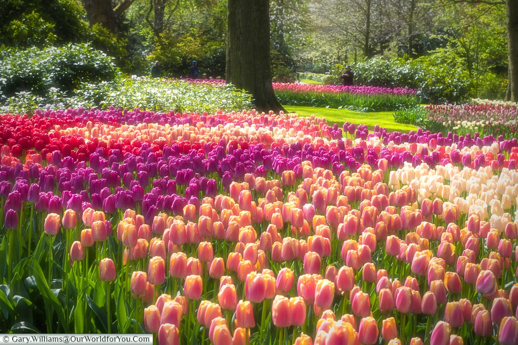 A soft-focus view of densely planted tulips in light pinks, purples, reds set in a woodland scene