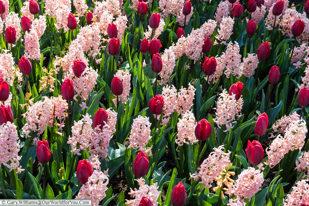 Mixed bedfellows, Keukenhof, Holland, Netherlands