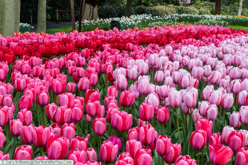 Pinks & Reds, Keukenhof, Holland, Netherlands