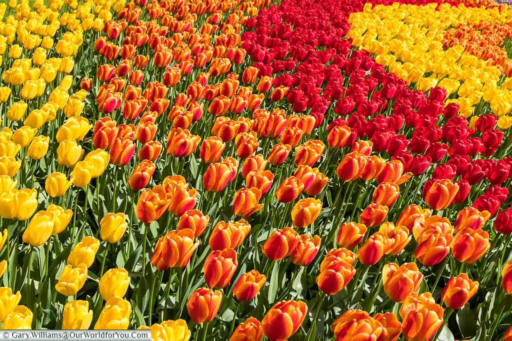 Close up of a tulip bed, Keukenhof, Holland, Netherlands