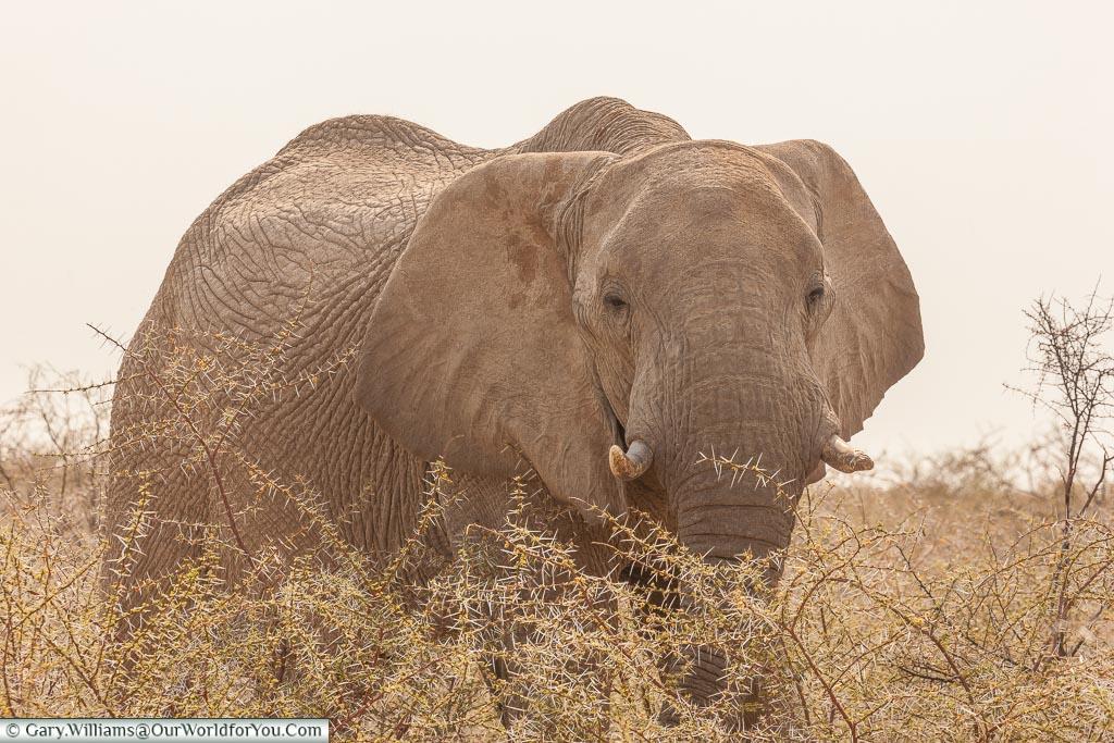 A big bull elephant, Etosha, Namibia