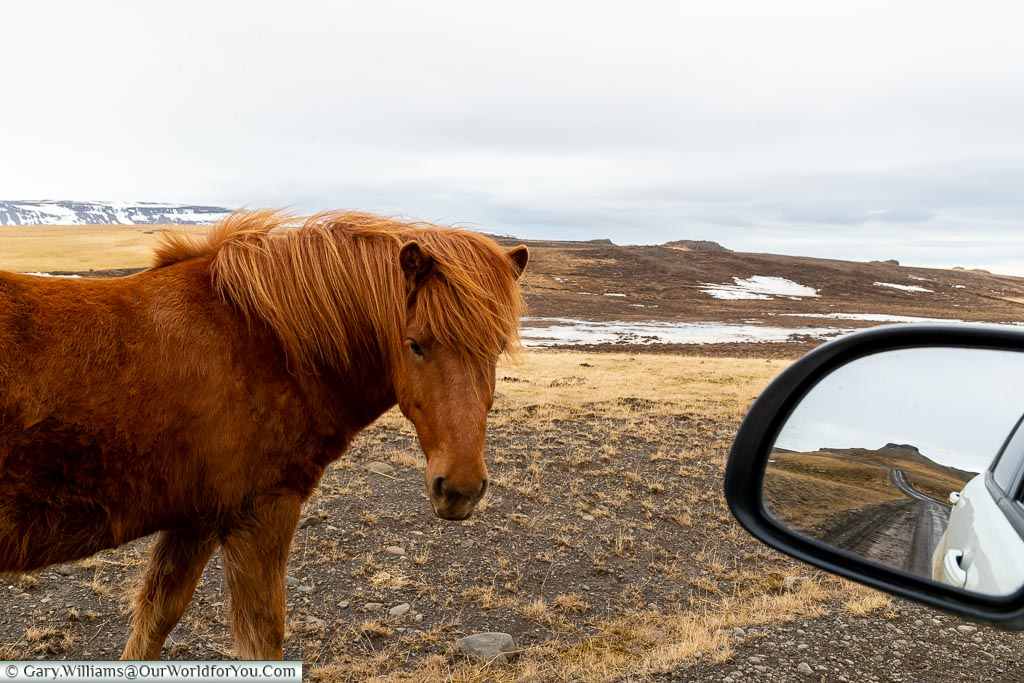 An Icelandic Horse off route, Driving in Iceland